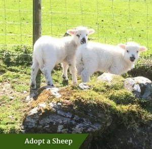 Adopt a Sheep | Family Tours Ireland